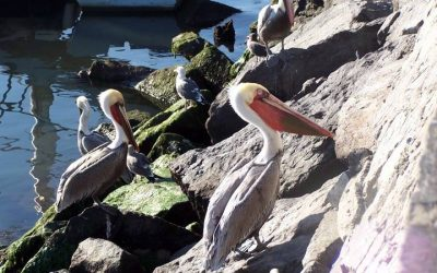 Galerie Oiseaux - Ensenada 2
