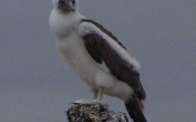 Galerie Oiseaux - Isla Isabela 4